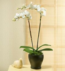 Phalaenopsis Orchid from Clermont Florist & Wine Shop, flower shop in Clermont