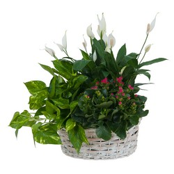 Living Garden Plant Basket from Clermont Florist & Wine Shop, flower shop in Clermont