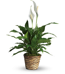 Simply Elegant Spathiphyllum - Small from Clermont Florist & Wine Shop, flower shop in Clermont