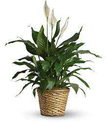 Simply Elegant Spathiphyllum - Medium from Clermont Florist & Wine Shop, flower shop in Clermont