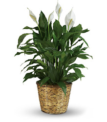 Simply Elegant Spathiphyllum - Large from Clermont Florist & Wine Shop, flower shop in Clermont
