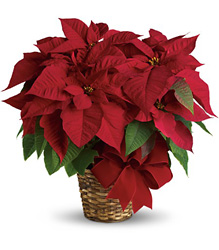 Red Poinsettia from Clermont Florist & Wine Shop, flower shop in Clermont