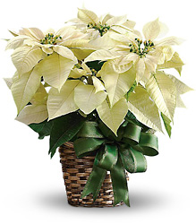 White Poinsettia from Clermont Florist & Wine Shop, flower shop in Clermont