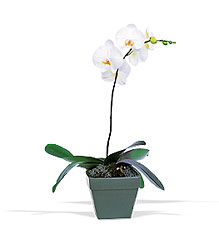 Phalaenopsis Orchid Plant from Clermont Florist & Wine Shop, flower shop in Clermont