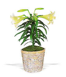 Easter Lily Plant from Clermont Florist & Wine Shop, flower shop in Clermont